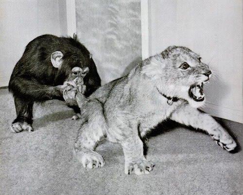 http://4.bp.blogspot.com/_9GHoR-RJLy8/TCZzeW9aVDI/AAAAAAAARig/6YQA0-W-6AI/s400/chimpandlion_forbidden.jpg