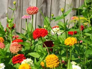 zinnias everywhere