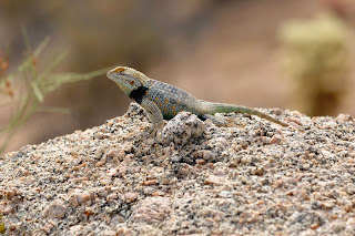 Critter shot of a yellow-backed spiny lizard