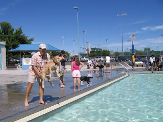 Scout the Golden Retriever about to be launched into the Lincoln Park Pool during Dog Days