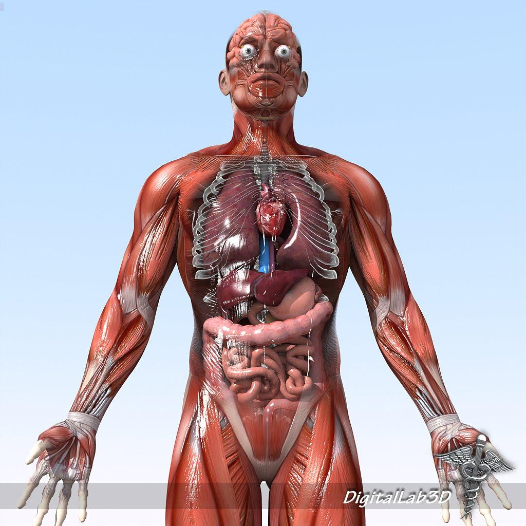 human anatomy male: