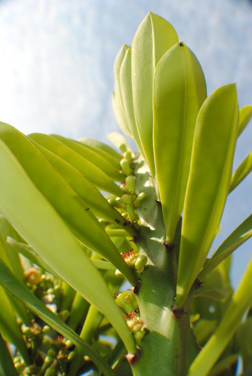 Kaktus...