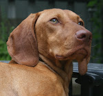 Hartley the Stitching Vizsla