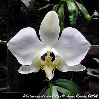 anggrek+bulan Month orchid (Phalaenopsis amabilis)