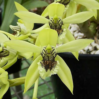 anggrek+hitam+borneo Black Orchid Borneo