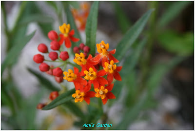 Southeast Florida Garden Evolvement: Epidendrum Orchid