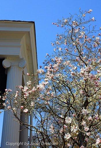 [March+19,+2010,+Pilgrimage+japanese+magnolia,+j+gresham]