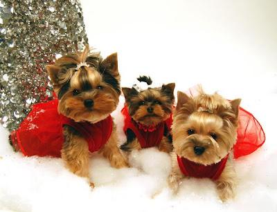 Yorkitas modelo de ropa canina! Paris+Noel%3B+Bella+LaRue%3B+Madeline+Monet+y+Lili+Patou+perritas+modalos+yorky+moda+canina+5