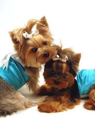 Yorkitas modelo de ropa canina! Paris+Noel%3B+Bella+LaRue%3B+Madeline+Monet+y+Lili+Patou+perritas+modalos+yorky+moda+canina+6