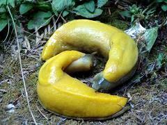 [Two_Banana_Slugs.jpg]