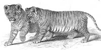 Engraving of liger cubs by G B Whittaker (1825)