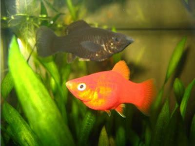 El acuario tropical y el de agua fria especies de peces for Peces agua dulce calida para acuario