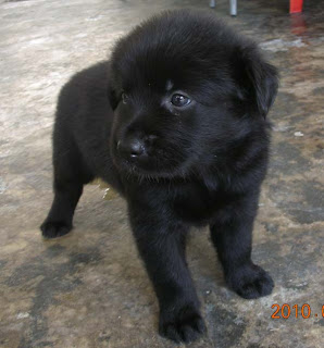 Labrador Mixed Breed black puppy for sale.