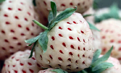 white strawberries red seeds pineberries