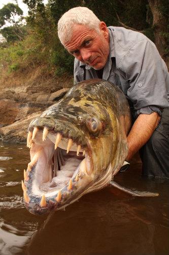 Tiger Fish (Hydrocinnus goliath) Ikan ini hidup di sungai kongo.