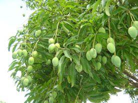 Foto Mangueira com frutos