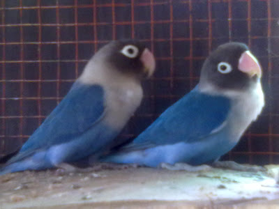 Lovebird pastel violet - photo#11