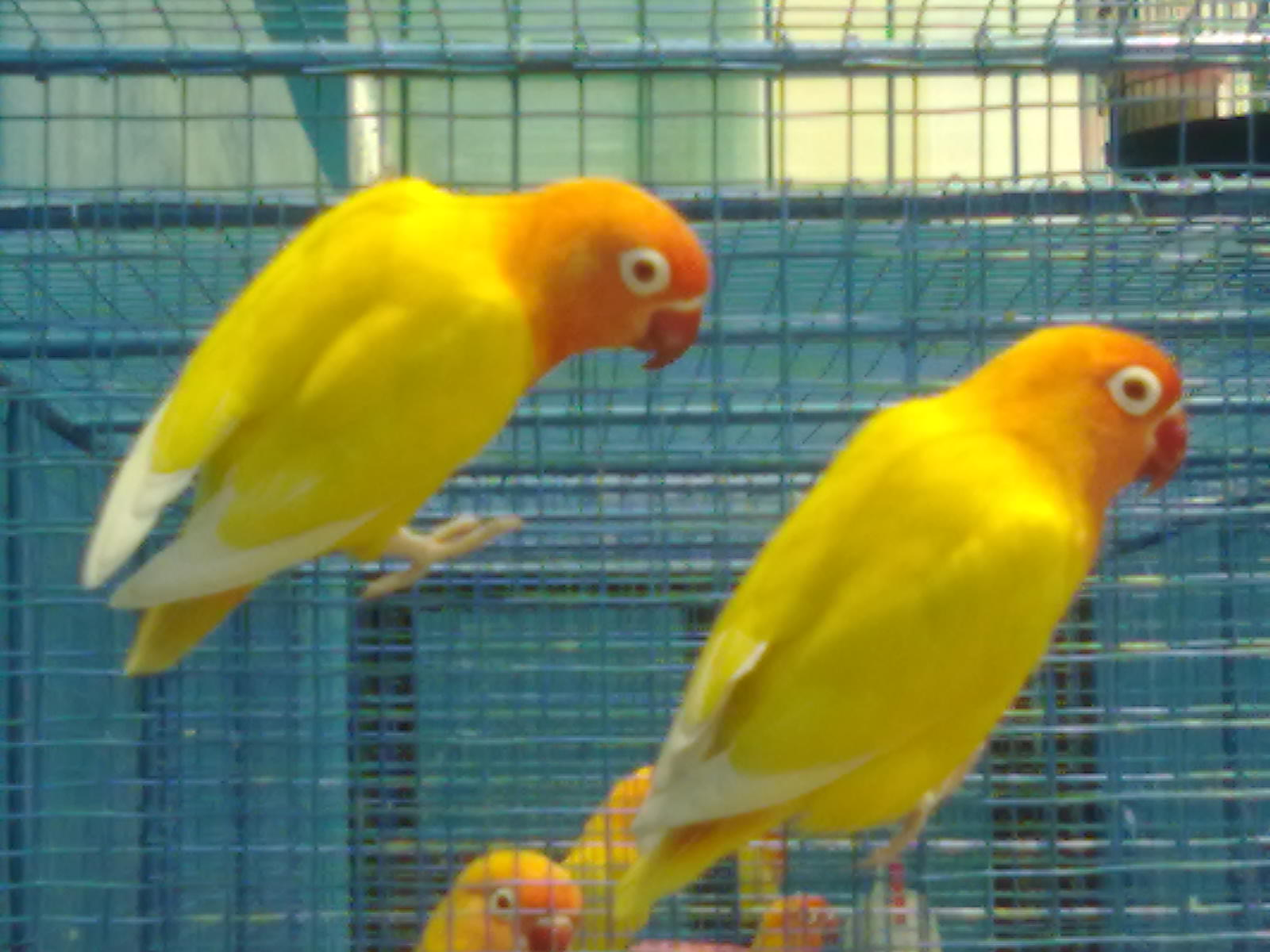 juragan love bird