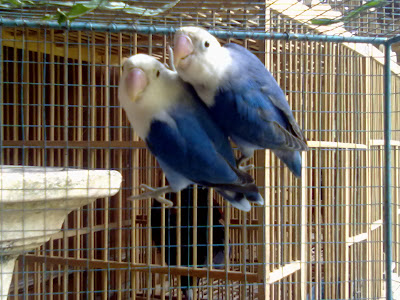 juragan love bird