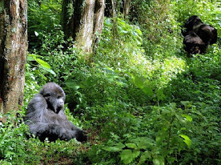 Superinteressante Gorilas Congo