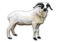 Gambar kambing qurban Foto kambing kurban TIPS CARA Memilih Hewan Kurban IDUL ADHA QURBAN Lebaran HAJI 2009