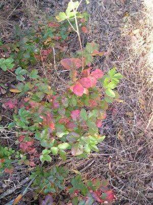 poison oak rash photos. small poison oak rash. poison