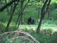 Black Bear Along The Rails Trail