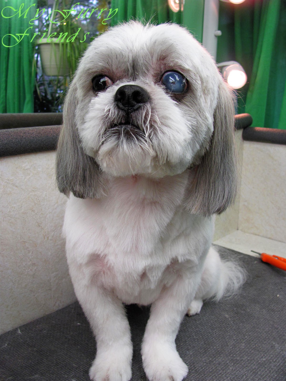 Pet Grooming: The Good, The Bad, & The Furry: Shih-Tzu day