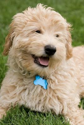 Golden Dog Names Female