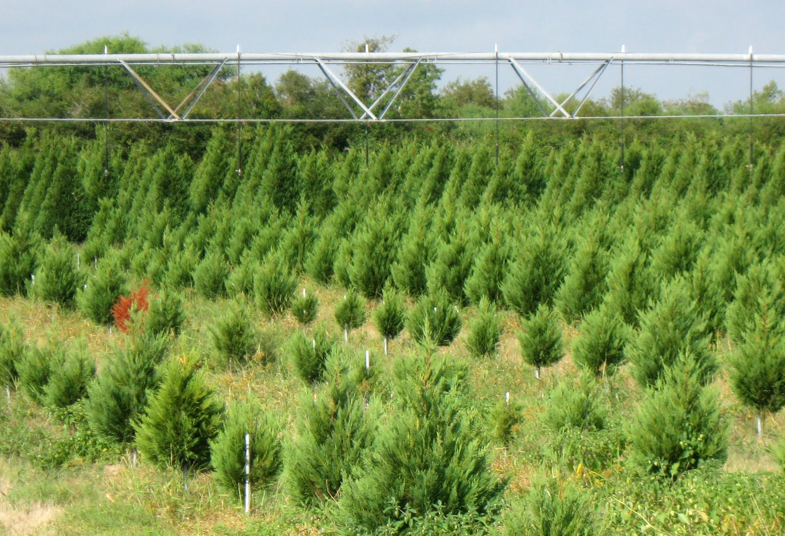 Dewberry Farm Christmas Trees
