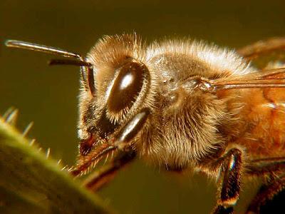 Video Lebah Madu