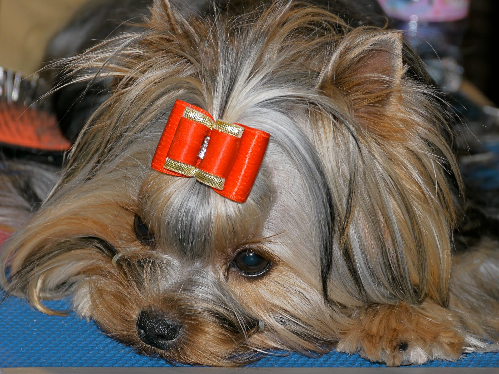 Dogs And Cats Breed Monaco Dog Show The Yorkies Dogs And Cats