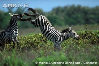 [zebra+de+Grevy.jpg]