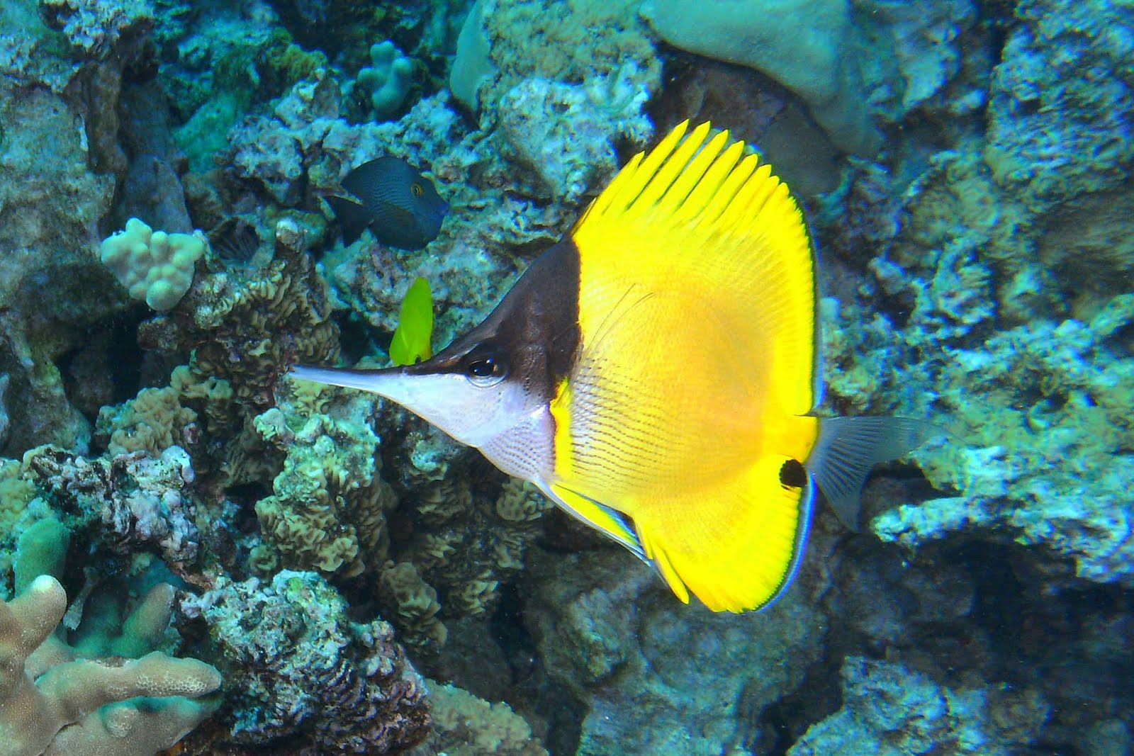 Diving the kona coast big longnose butterflyfish for Hawaiian fish names and pictures