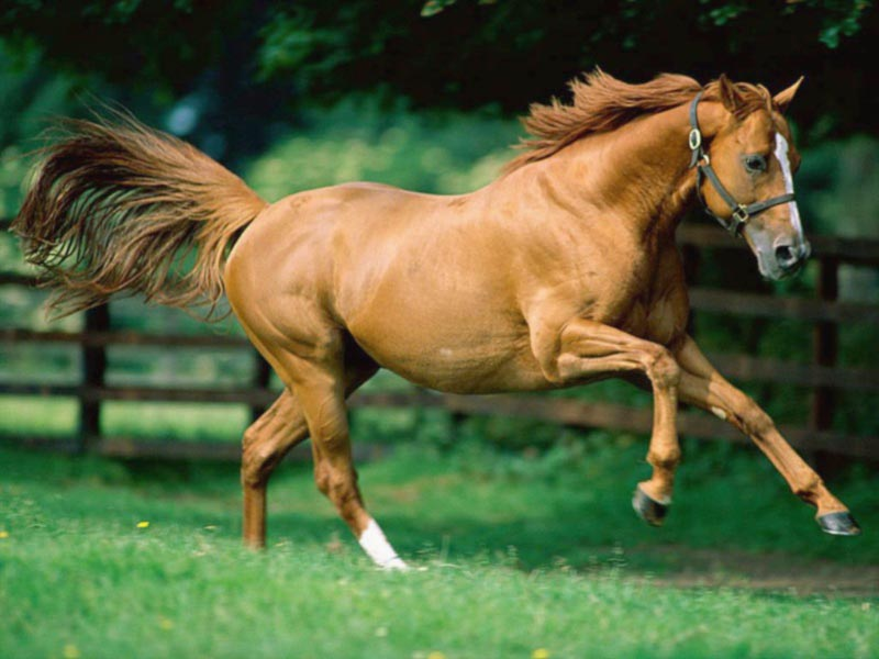 Animal Health Foundation: Laminitis Research : Research