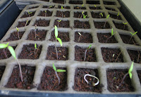2009: 34 out of 36 tomato plants break through!