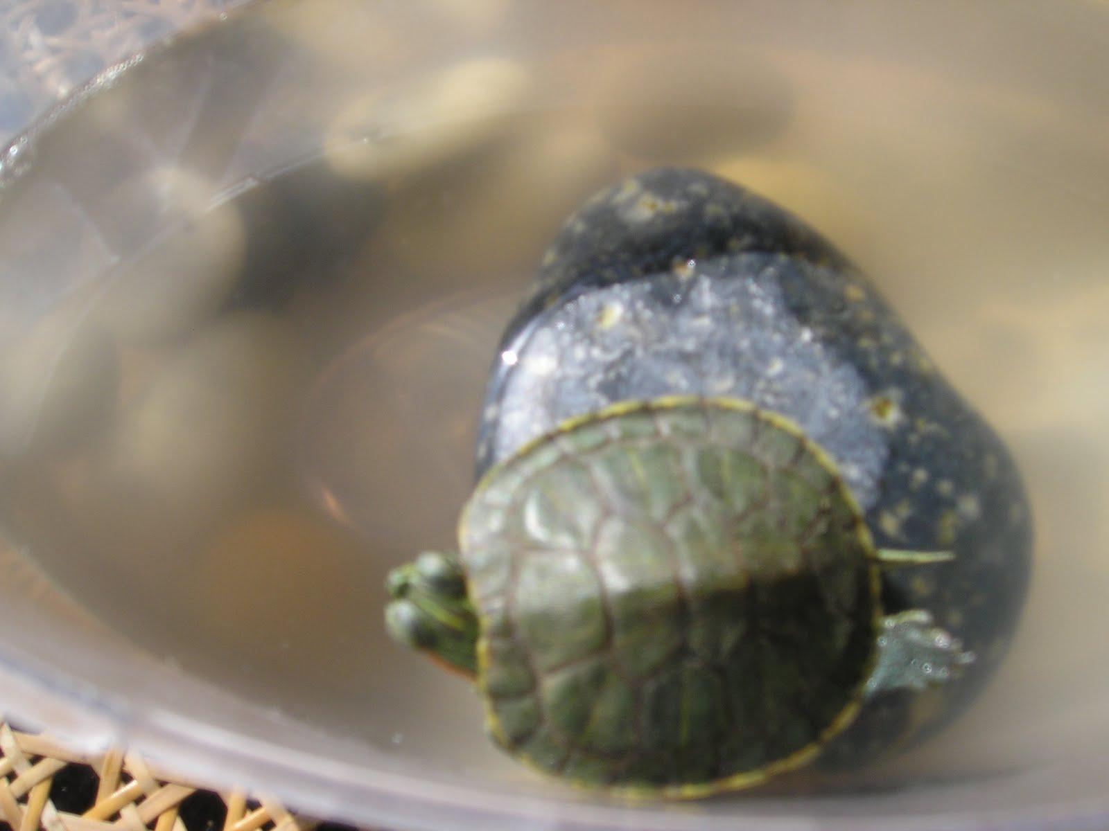 Pet Turtles