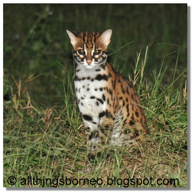 All Things Borneo The Leopard Cat