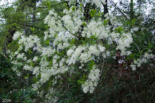 The woodlands texas trees many white blooms many species here in the woodlands we have a wide variety of white blooming understory trees right now we see the end the blooming season for dogwoods and are at the mightylinksfo