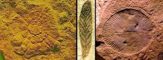 fósseis Mawsonites sp, Charnia, Dickinsonia sp