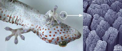 osgas patas cerdas, Gecko setae