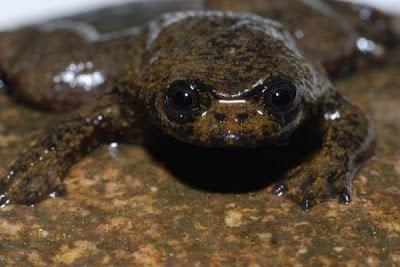 rã sem pulmões lungless frog  Barbourula kalimantanensis