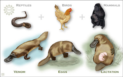 graphic illustrates the traits that the platypus shares with reptiles, birds, and mammals