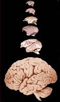 cérebro humano macacos