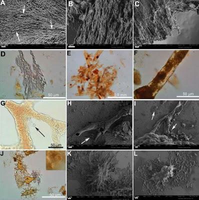 Tecidos Moles de dinossauro - Imagem