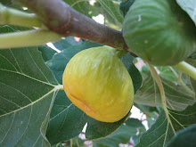 My Peter's Honey Fig Tree