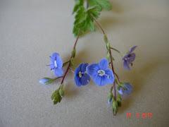 la véronique bleue