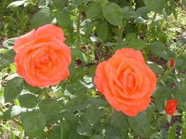 Rosas lindas ...oferecidas pela Paula C.