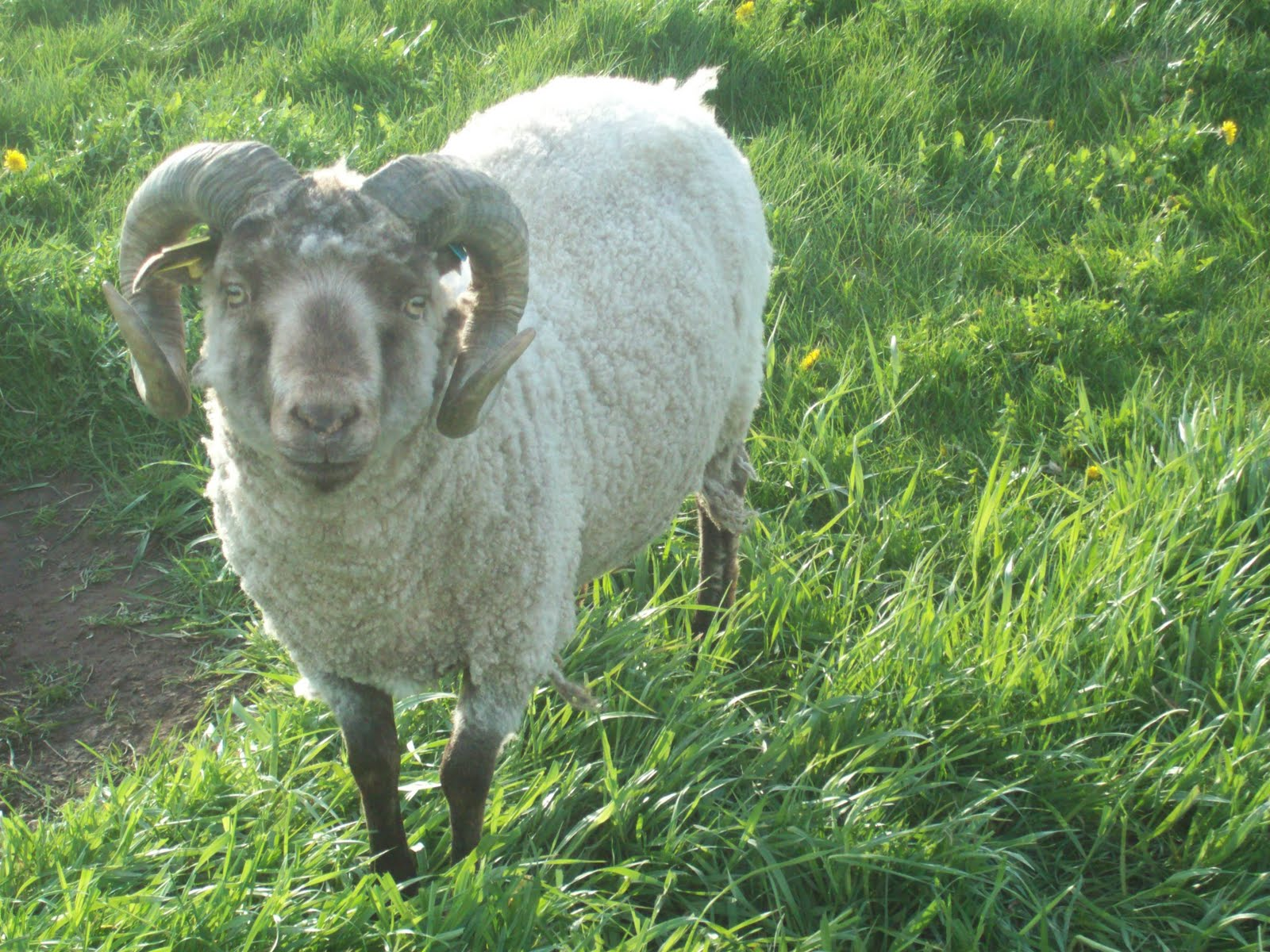 Psalm23farm Sheep For Sale