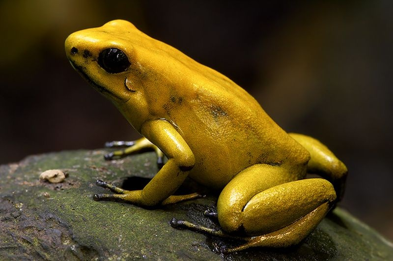 Golden dart frog habitat - photo#17